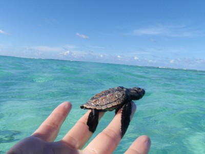 BABY TURTLE ANEGADA BRITISH VIRGIN ISLANDS
