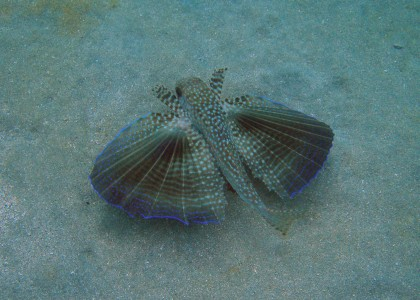 FLYING GURNARD - TOBAGO CAYS