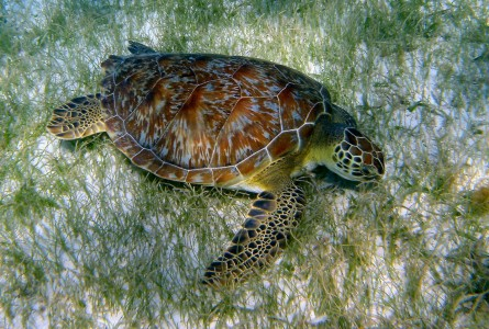 SEA TURTLE IN GRENADINES TOBAGO