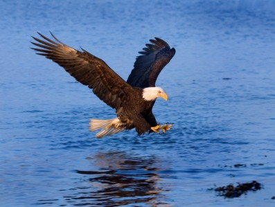 Pacific Northwest Bald Eagle Fishing