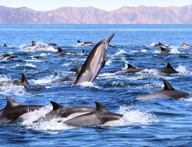 Dolphins in Baja Sea of Cortez Yacht Charter