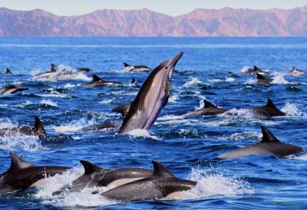 MEXICO - DOLPHINS - BAJA - SEA OF CORTEZ